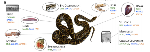Figure 3B from Castoe et al. (2013), showing genes that have undergone positive selection on the vertebrate lineage leading to snakes.