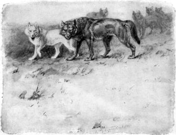 Lobo (the King of Currumpaw), by Ernest Thompson Seton. Public Domain.